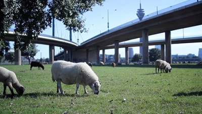 Sheep Under The Bridge